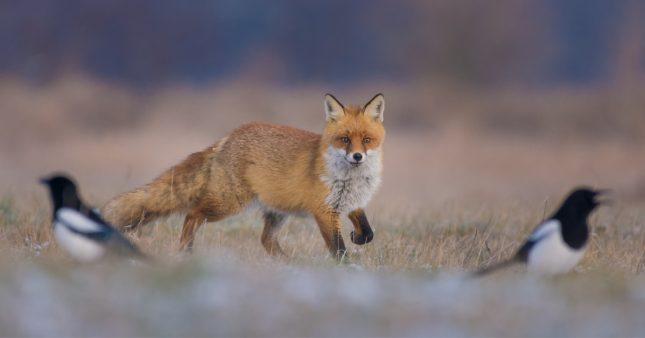 Abattage massif de renards en Seine Maritime: les  chasseurs déboutés par le tribunal