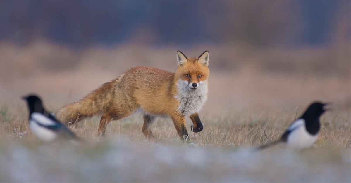 Abattage massif de renards en Seine Maritime : les  chasseurs déboutés par le tribunal