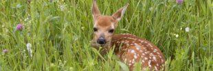 'Sauvons Bambi' des drones au service de la biodiversité