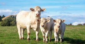 Une solution pour limiter la pollution, des masques pour les… vaches!
