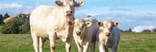 Une solution pour limiter la pollution, des masques pour les... vaches !