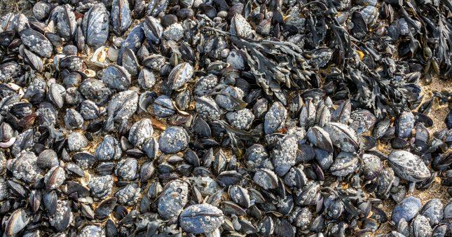 Plus d'un milliard d'animaux marins grillés vifs durant le dôme de chaleur au Canada