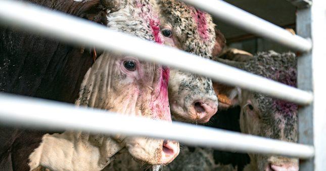 Plus de contrôles dans les abattoirs: la promesse du ministère de l'Agriculture