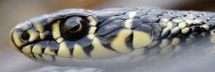 Dans la famille biodiversité ordinaire, protégeons la couleuvre verte et jaune
