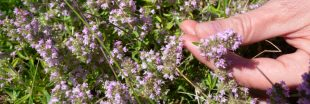 La cueillette de plantes sauvages tourne au pillage : à quand une réglementation ?