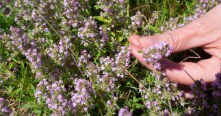 cueillette plantes sauvages pillage