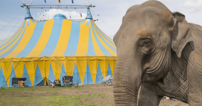 Après une vie de cirque, quelle retraite pour les animaux sauvages