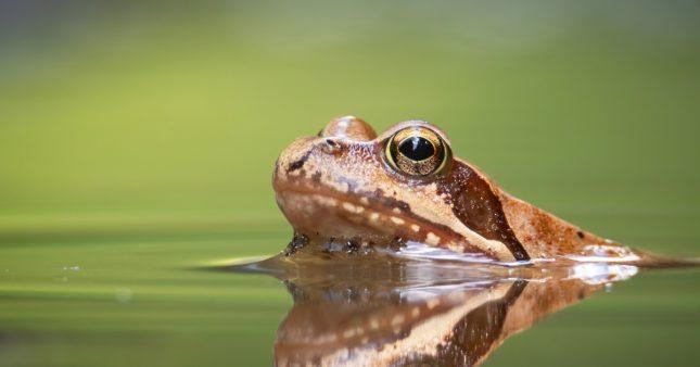 Dans la famille biodiversité ordinaire, protégeons la grenouille rousse