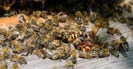 Guêpe, abeille et autres bestioles volantes: comment les reconnaître?