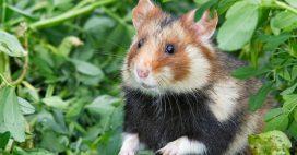 Et si vos prochains filleuls étaient d'adorables hamsters d'Alsace?