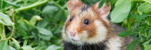Et si vos prochains filleuls étaient d'adorables hamsters d'Alsace ?