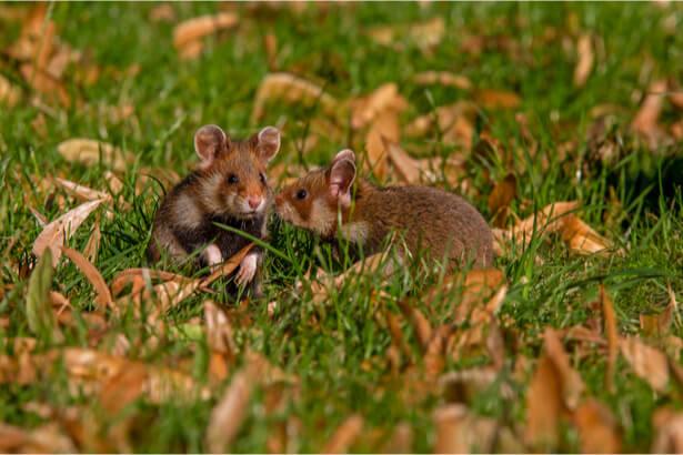 parrainer grand hamster d'Alsace