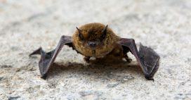 Dans la famille biodiversité ordinaire, protégeons la pipistrelle!