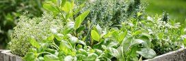 Comment couper les herbes aromatiques pour qu'elles repoussent ?