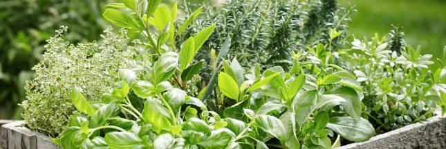 récolte plante aromatique