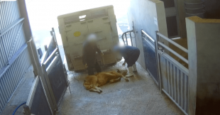 Vidéo choc : l'horreur du luxe à la française à l'abattoir de Sobeval