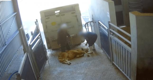 Vidéo choc: l'horreur du luxe à la française à l'abattoir de Sobeval
