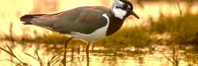 chasse traditionnelle oiseaux