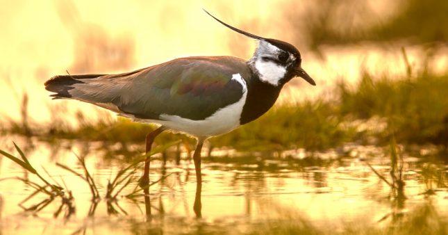 Chasse traditionnelle d'oiseaux: certaines pratiques désormais interdites