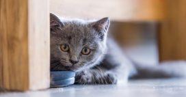 Trafic d'animaux: plus de 150 chats de race euthanasiés à Taïwan
