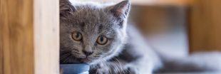 Trafic d'animaux : plus de 150 chats de race euthanasiés à Taïwan