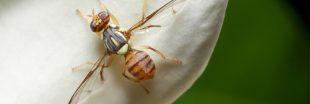 Espèces invasives - la mouche orientale des fruits commence à faire son chemin en France