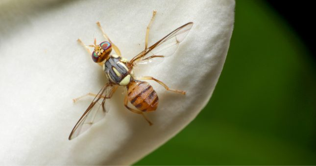 Espèces invasives – la mouche orientale des fruits commence à faire son chemin en France