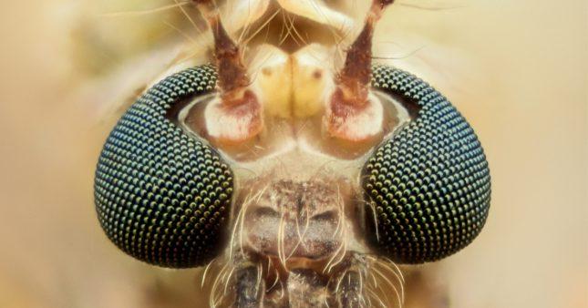 Nous serons presque invisibles pour les nouveaux moustiques génétiquement modifiés