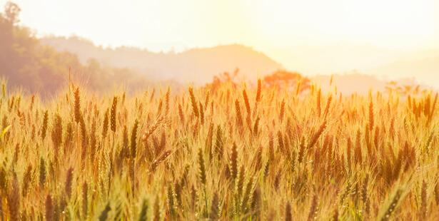 pénurie de blé