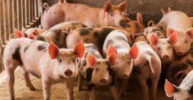 Retour inquiétant de la peste porcine qui menace les élevages dans plus de 50 pays
