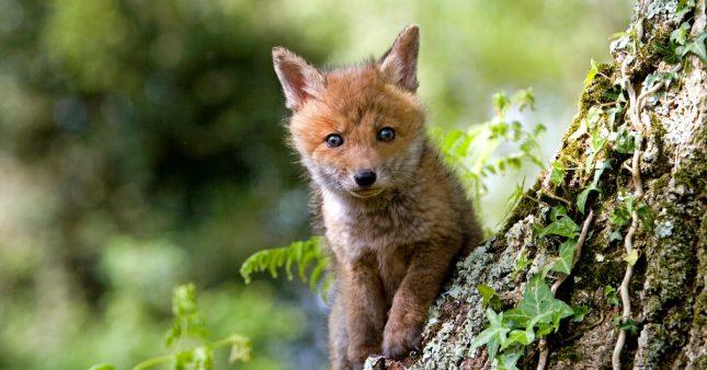Dans l'Oise, on veut envoyer les chasseurs abattre 3000 renards