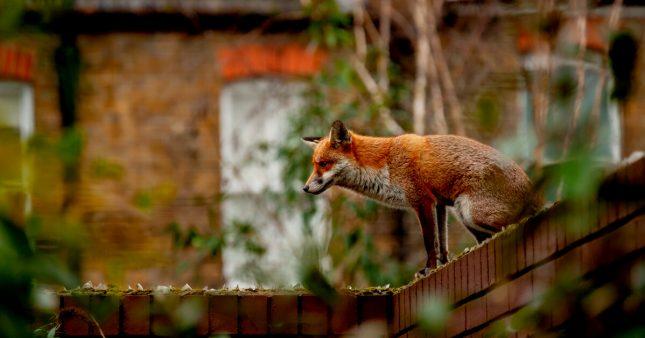 Habiter en ville fait grossir… les animaux sauvages