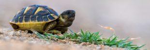 Victime de l'incendie dans le Var : la tortue Hermann a-t-elle encore une chance ?