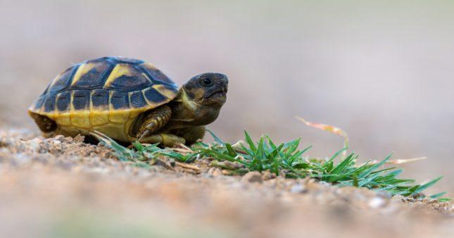 Victime de l'incendie dans le Var: la tortue Hermann a-t-elle encore une chance?