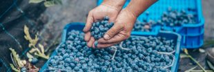 Trafic de myrtilles dans les Vosges : quels sont les règles de la cueillette sauvage ?