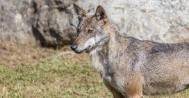 Hautes-Alpes: une louve retrouvée pendue devant une mairie