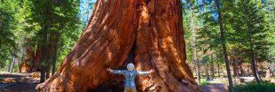 En Californie, des séquoias recouverts d'aluminium pour les protéger