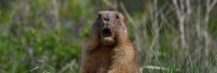 Carton rouge - Saviez-vous qu'en 2021, on peut encore chasser la marmotte ?