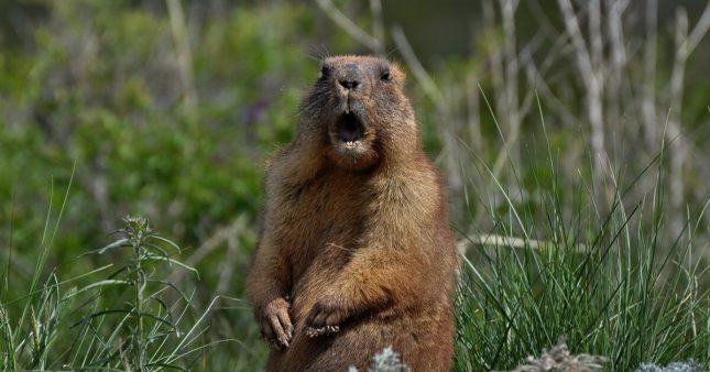 Carton rouge – Saviez-vous qu'en 2021, on peut encore chasser la marmotte?