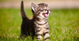 On sait pourquoi les chats sont rayés!