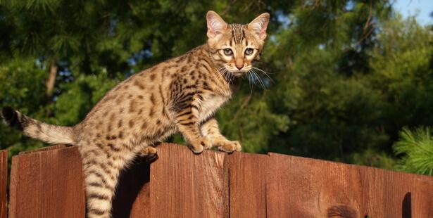 chat tigré