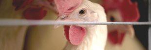 L'immense majorité des poules d'élevage souffrent de fractures osseuses
