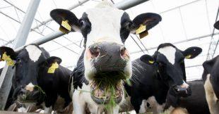Apprendre aux vaches à aller aux toilettes, un moyen de réduire la pollution ?