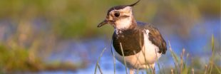 Certaines chasses traditionnelles d'oiseaux ré-autorisées et pourtant interdites en Europe