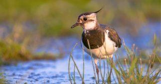 chasses traditionnelles oiseaux